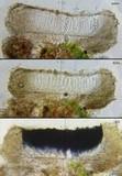 Image of Catinaria atropurpurea