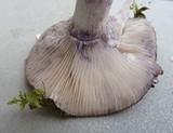 Lactarius montanus image