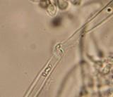 Gymnopilus viridans image