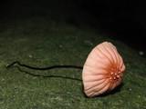 Marasmius pulcherripes image