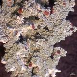 Stereocaulon tomentosum image