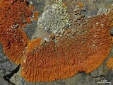 Caloplaca trachyphylla image