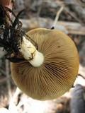 Pholiota olivaceophylla image