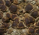 Acarospora boulderensis image