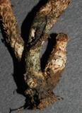 Inocybe calamistratoides image