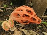 Clathrus crispus image