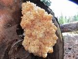 Hericium abietis image