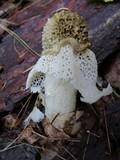 Phallus duplicatus image