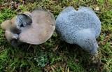 Albatrellus caeruleoporus image