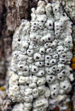 Image of Pertusaria propinqua