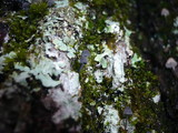 Mycena pseudocorticola image