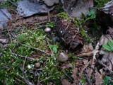 Mycena strobilicola image