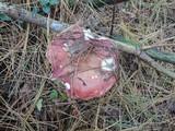 Russula vinosa image