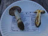 Cortinarius varius image