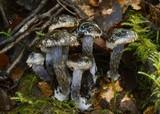 Cortinarius rhipiduranus image