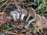 Clitocybe ditopa image