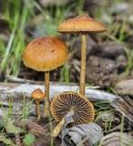 Hypholoma tuberosum image
