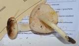 Hygrophorus bakerensis image