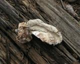 Oligoporus leucospongia image