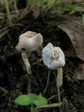 Hypomyces cervinigenus image