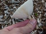 Melanoleuca verrucipes image