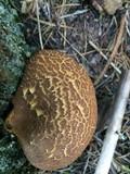 Tapinella atrotomentosa image