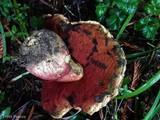 Boletus pulcherrimus image