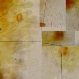 Galerina sphagnorum image