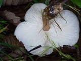 Rhodocollybia butyracea image