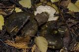 Lactarius turpis image