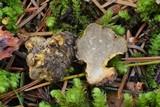 Truncocolumella citrina image