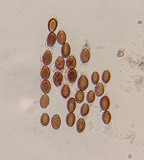 Psilocybe tampanensis image