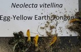 Neolecta vitellina image