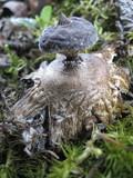 Geastrum pectinatum image