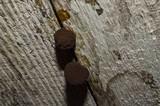 Tubulifera arachnoidea image