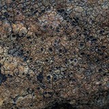 Ingvariella bispora image