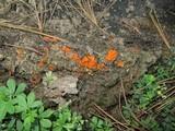Cheilymenia granulata image