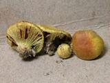 Cortinarius globuliformis image