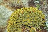 Xanthoria sorediata image