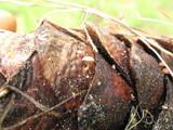 Strobilurus diminutivus image