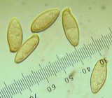 Boletellus mirabilis image