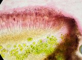 Caloplaca nivalis image