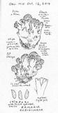 Ramaria rubiginosa image