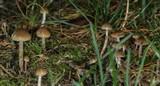 Psilocybe cyanofibrillosa image