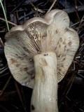 Lactarius uvidus image