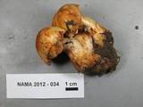 Cortinarius rubicundulus image