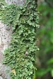 Pseudocyphellaria flavicans image