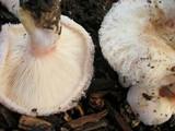 Lactarius pubescens image