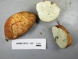 Rhizopogon occidentalis image