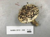 Tricholoma manzanitae image